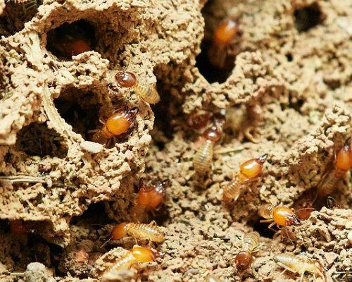 Cbi termites